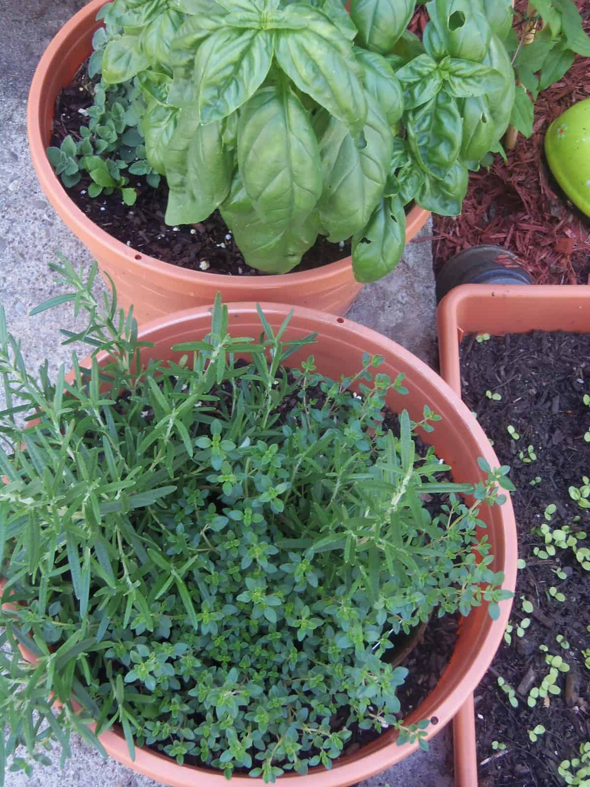 We plant all of our herbs and peppers in pots. Front porch gardening.