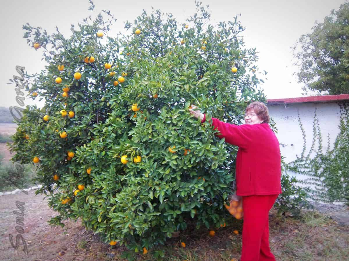 My Tia Minerva picking the sour oranges at the family ranch in Mexico.